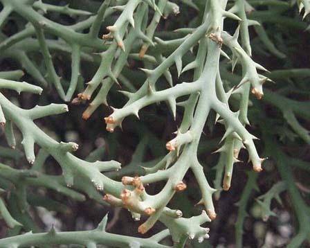 صباريات النباتات الشوكية والعصارية